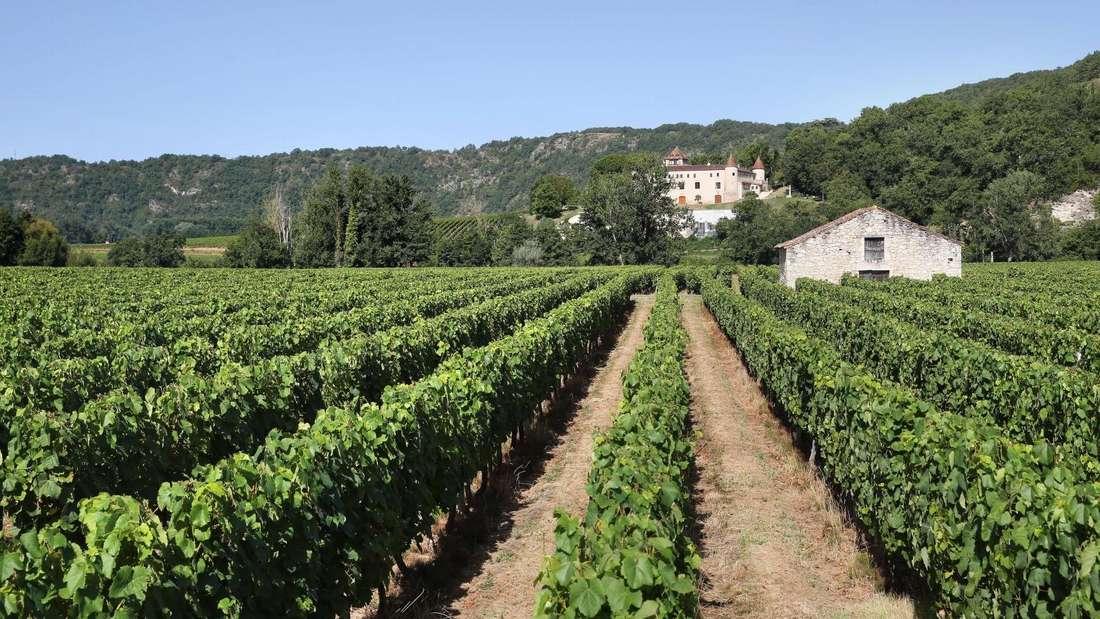 Weinreben säumen den Weg zum Château de Cayx.